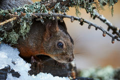 Curious European Squirrel Royalty Free Stock Images