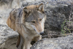 Curious eyes of timber wolf Stock Images