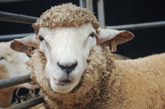 Curious face of young sheep Royalty Free Stock Photography