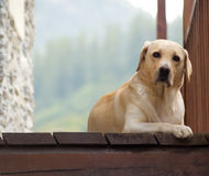 Curious faithful labrador Royalty Free Stock Photo