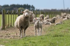 Curious Family of Sheep. Sheep and lambs.  A curious Ewe with a lamb in tow Stock Images