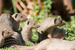 Curious family of banded mongoose. In green grass Royalty Free Stock Photography