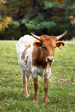 Curious farm bull Stock Images