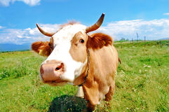 Curious farm cow Stock Image