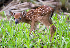 Curious Fawn Royalty Free Stock Photos