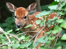 Curious Fawn in a ivy patch Royalty Free Stock Photos