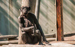 Curious Female Chimpanzee. A Curious female chimpanzee interested by camera Stock Photos
