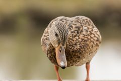 Curious female Mallard trying to snoop what is going on