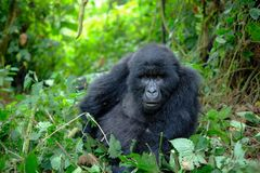 Curious female mountain gorilla looking into camera. stock images