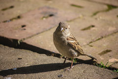 Curious female sparrow Stock Image