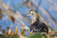 Curious Female Wood Duck Stock Image