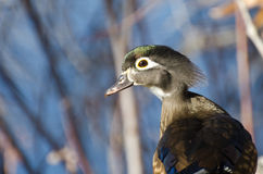 Curious Female Wood Duck Royalty Free Stock Images