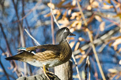 Curious Female Wood Duck Stock Photo