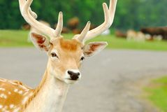 Curious Feral Deer Stock Images