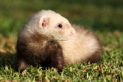 Curious Ferret Kit. Royalty Free Stock Images