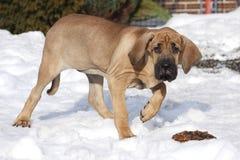 Curious fila brasileiro puppy royalty free stock image