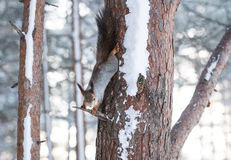 Curious Fluffy Squirrel holds tree trunk in winter forest and headfirst looking into camera Stock Photography