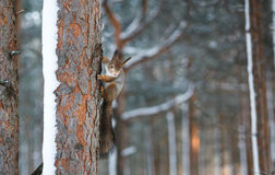 Curious Fluffy Squirrel holds tree trunk in winter forest and looking into camera. Copy space. Stock Photography