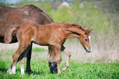 Curious foal Stock Images