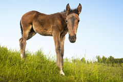 Curious foal in green field Stock Image