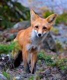 Curious Fox. A little curious red fox sneaking up on my just outside of Yellowknife, NWT Stock Image