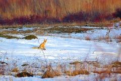 Curious fox Stock Image