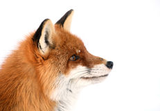 Curious fox Royalty Free Stock Photos