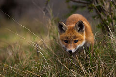 A curious Fox cub Stock Image