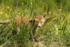 Curious fox cub hiding in the grass Stock Photos
