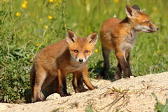 Curious fox cub looking at the camera Stock Photography