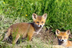Curious fox cub looking at the camera Royalty Free Stock Images