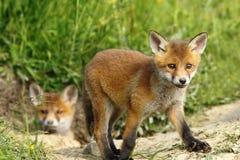 Curious fox cub near the burrow Stock Photo