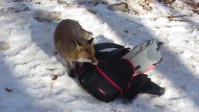 Curious fox stock video