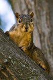 Curious Fox Squirrel Royalty Free Stock Photos