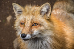 The curious fox watching the photographer. Curious fox watching the photographer Stock Photography