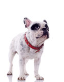 Curious french bulldog Royalty Free Stock Photo
