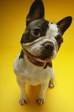 Curious French Bulldog Stock Photo