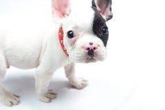 Curious French Bulldog Royalty Free Stock Photos