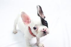 Curious French Bulldog. Puppy looking at camera Stock Photo