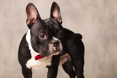 Curious french bulldog puppy wearing a red bowtie Royalty Free Stock Photos