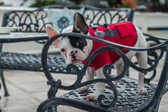 Curious French Bulldog. Puppy wearing red dog shirt Stock Photography