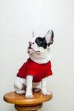 Curious French Bulldog. Puppy wearing red dog shirt looking upwards Royalty Free Stock Photos
