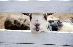 Curious, friendly goat Royalty Free Stock Images