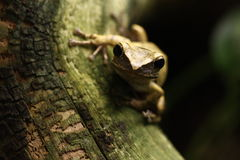 Curious frog. Green frog looking at you Stock Images