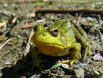 Curious Frog. A frog sits on the edge of a pond soaking in the sun Stock Image