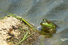 A Curious Frog. Stock Photo