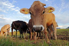 Curious, funny look of a cow Royalty Free Stock Photography