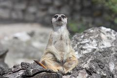 Free Curious Funny Meerkat Sitting On A Stump And Looks Into The Camera. Stock Image - 132136101