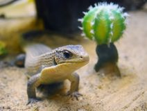 Curious funny sudan plated lizard on sand. Sudan plated lizard near the cactus Royalty Free Stock Image