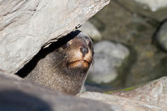 Curious Fur Seal Stock Image